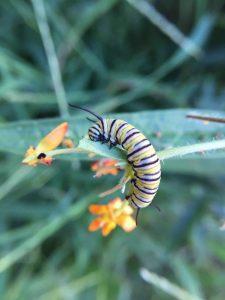 Monarch Caterpillar Feeding
